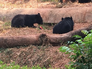 Bears eating watermelon