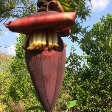Ancie shows us how to get the nectar from banana flowers- very sweet!